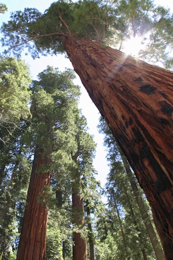 redwood pacific forest trust
