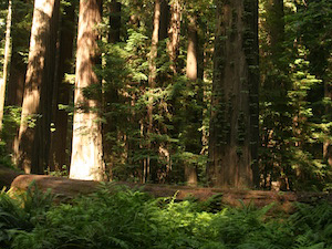 Redwoods by Jon Remucal