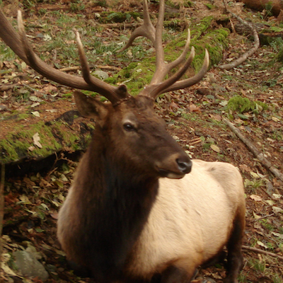 Roosevelt_Elk_at_Northwest_Trek_Pnwnature