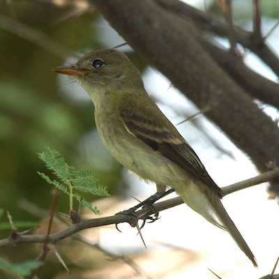 Willow_Flycatcher_USDA