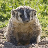 American_Badger_Oregon_Department_of_Fish_and_Wildlife_Flickr