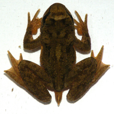 Pacific Tailed Frog