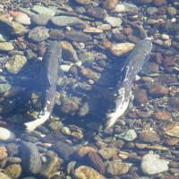 Chinook_Salmon_Dan_Cox_USFWS_2