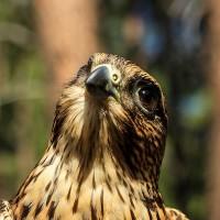 Falco_columbarius_Jon_Nelson