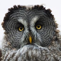 Great_Gray_Owl_Steve_Wilson