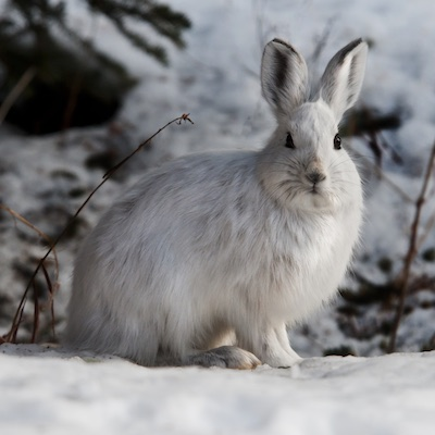 Snowshoe_Hare_Winter_Denali_National_Park_and_Preserve