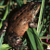 USFWS_Oregon_Spotted_Frog_Photo