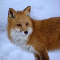 Red_Fox_USDA_government_SM