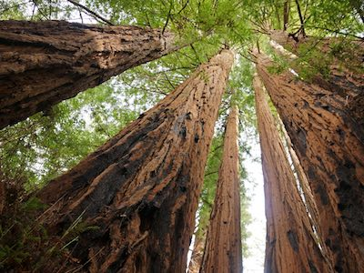 Sequoia_sempervirens_Big_Basin_Redwoods_State_Park_Allie_Caulfield