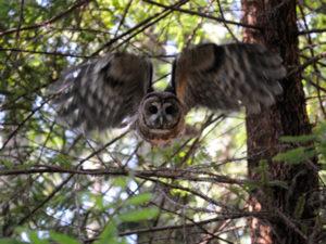 Spotted-Owl-Van-Eck