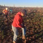 Laurie Wayburn plants a ponderosa pine seedling at Goose Lake Working Forest
