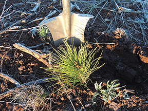 Three Million Trees Planted at Goose Lake Working Forest