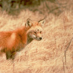 Sierra red fox have been seen in and around Black Butte